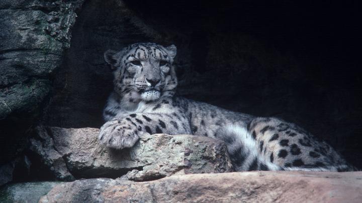 Старейший леопард в Приморье вышел к автомобилистам - видео