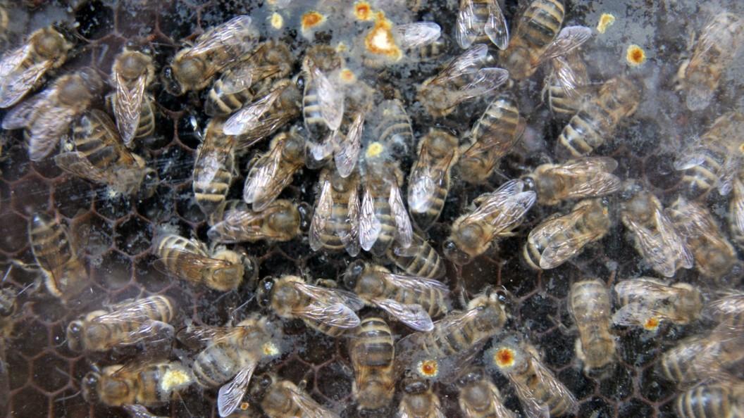 ВЮАР пчёлы спасают деревья отслонов
