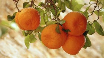 Половину предназначенных для России абхазских мандаринов съел мраморный клоп