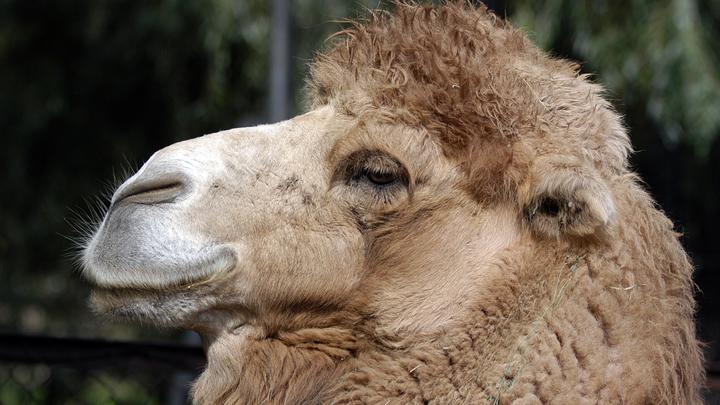 В Россию запретили ввозить верблюдов и альпак из Швейцарии