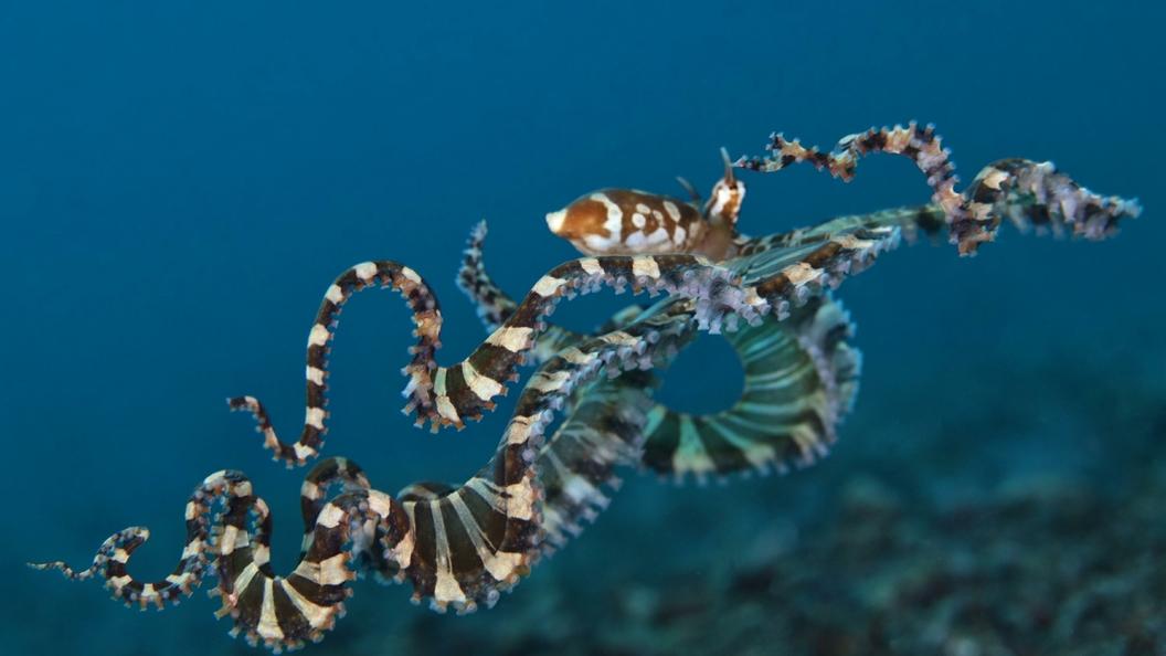 Ученые нашли новых осьминогов