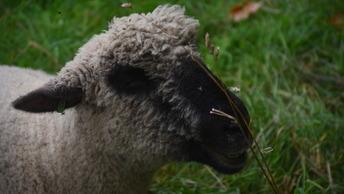 В Румынии овцы взяли в осаду военную базу США