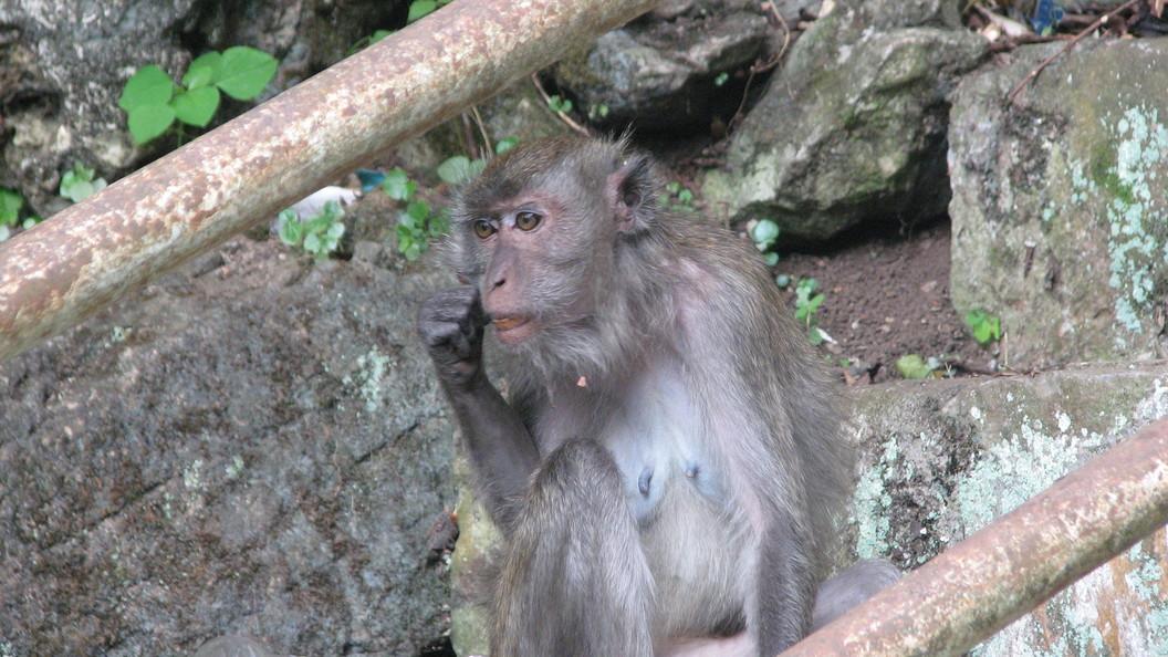 Сделано в Китае Ученые клонировали обезьян как овечку Долли