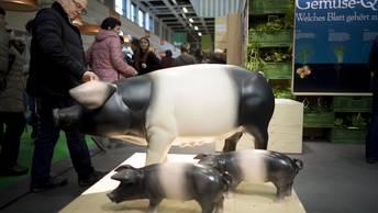 Россия не намерена платить миллиарды евро за непоставленных в страну свиней  из ЕС