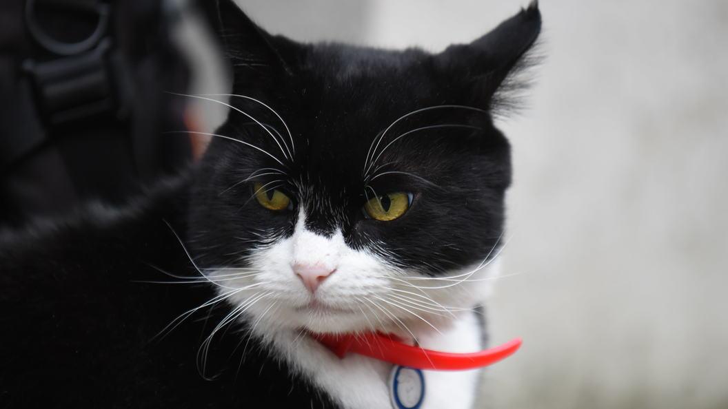 Разбаловался: МИД Великобритании  запретил сотрудникам кормить кота-мышелова