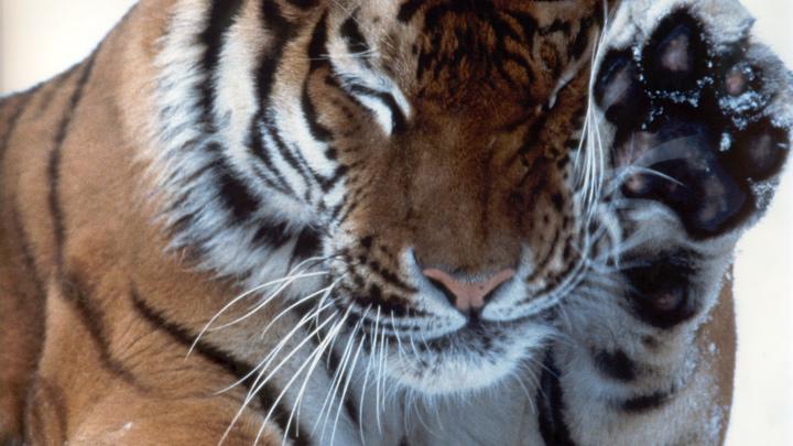 Истощенная тигрица под Хабаровском пришла к людям за помощью