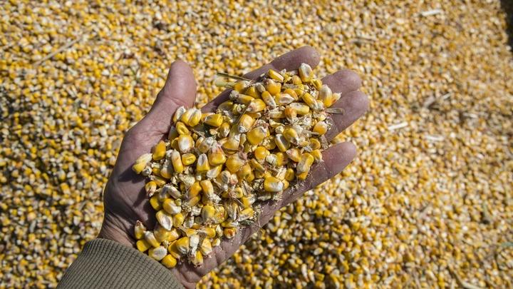 Ученые вывели  ГМО-кукурузу - ее брезгуют есть даже жуки