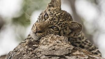 Собачья жизнь персидского леопарда: Кормит ретривер, воспитывает овчарка
