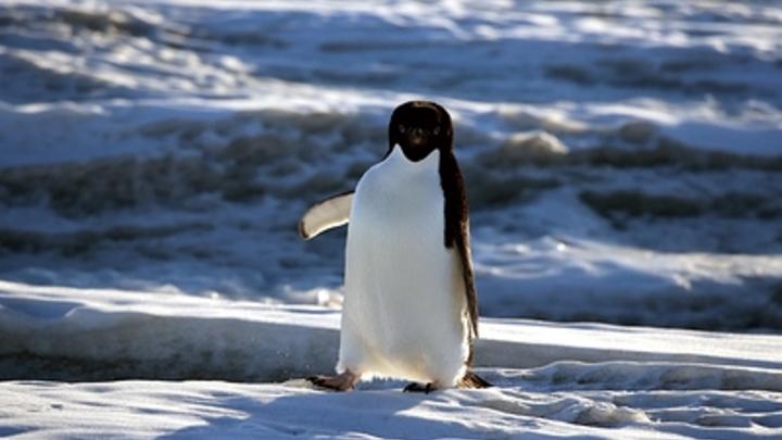 Пингвины-грабители срывают латвийским ученым исследования Антарктиды - видео