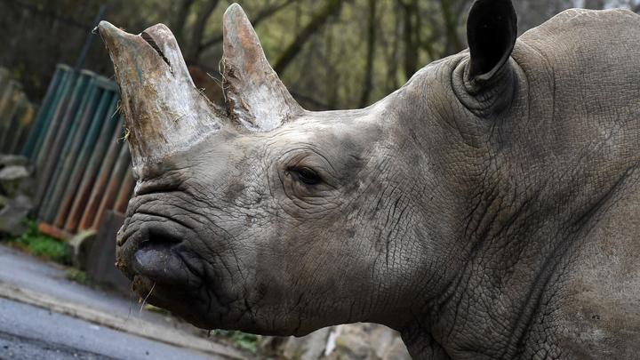 Их больше не будет: В Кении умер последний самец белого носорога