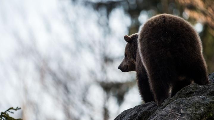 Британские защитники животных озабочены появлением медведя на матче ПФЛ