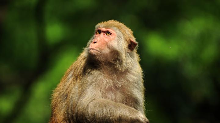 Китайская макака «по-мужски» ответила на хамство туриста - видео