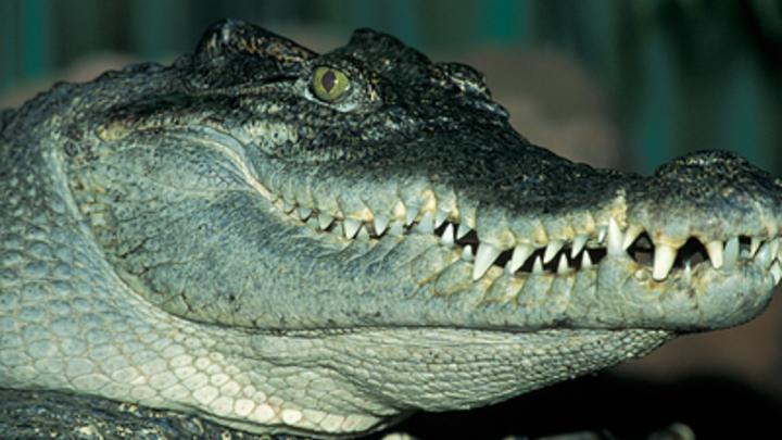 В пасти крокодила: В Австралии рептилия сразилась с «папарацци» за камеру - видео