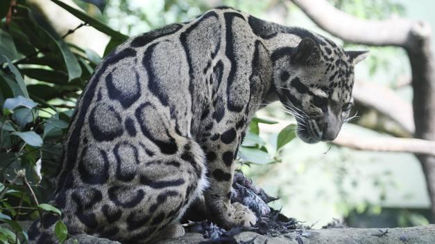 Пхеньян подарит Москве дымчатого леопарда