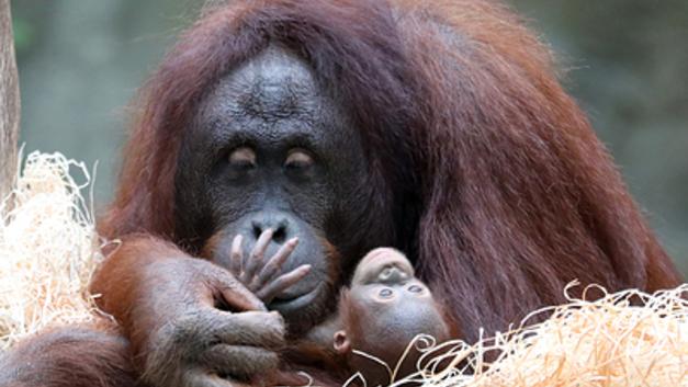 Детский нейрохирург спас от смерти малыша-орангутанга в Новосибирске
