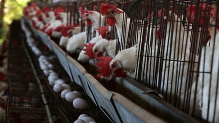 Из-за птичьего гриппа Россия останется без датских кур и яиц