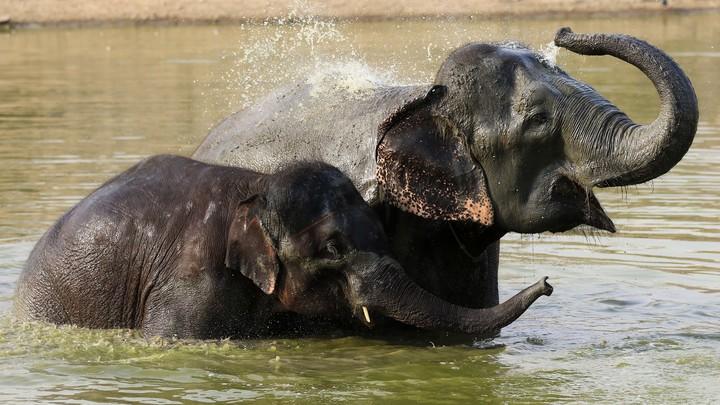 Впервые почти за 40 лет в Кении родились слонята-близнецы