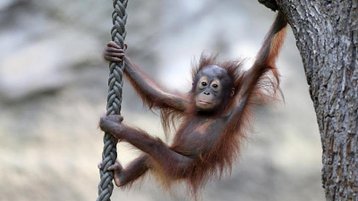 В Московском зоопарке прибавление: Из Новосибирска к бабушке отправили детеныша орангутана