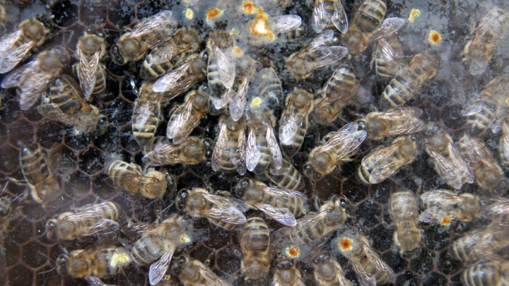 Тысячи пчел набросились на хот-доги в Нью-Йорке - фото