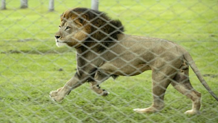Обнимашки со львом: Крымский сафари-парк приготовил туристам необычную услугу - видео