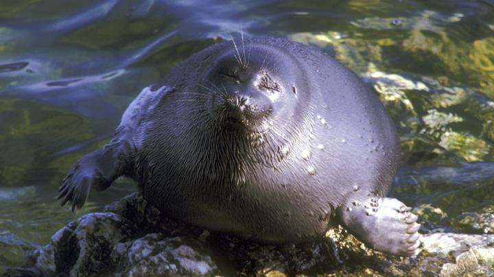 «Вызов на дуэль»: Дерзкий тюлень отхлестал туриста осьминогом - видео