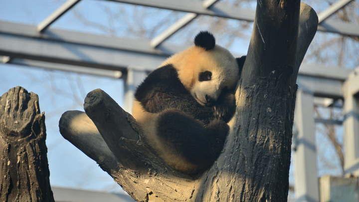 Делили дерево, дрались и кусались: Бой между двумя пандами стал хитом Сети