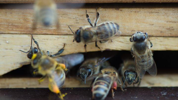 Российские ученые вывели морозостойких пчел