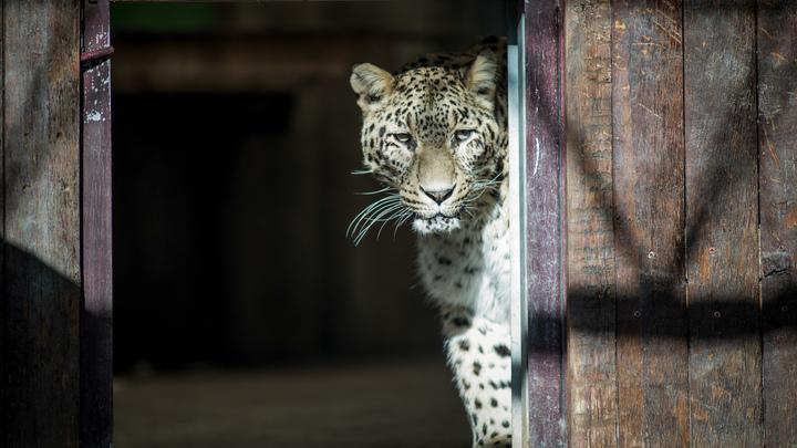 Леопард устроил салочки с жителями индийского города - фото