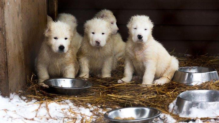 Собаки виноваты: Комиссия сделала выводы обисточнике заражения эхинококкозом суворовцев