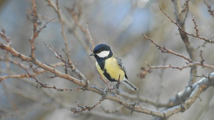 Орнитолог заявил о русском характере синиц, отвергнув подозрения в убийствах ими других птиц