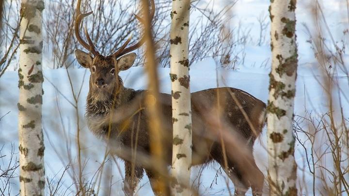 В США и Канаде появились истощенные и агрессивные олени-зомби