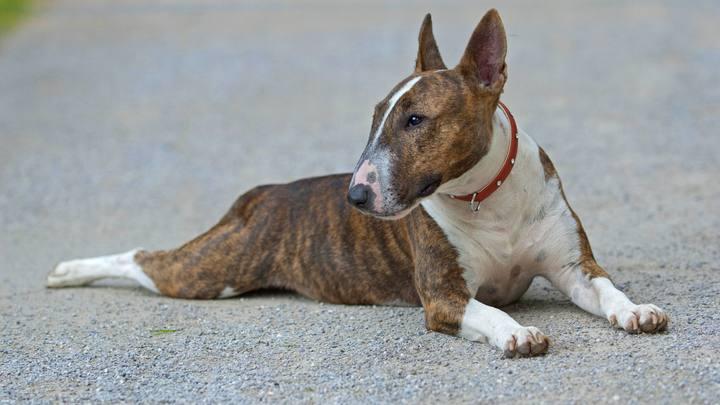 МВД опубликовало список 70 пород собак с агрессивной и нелояльной человеку генетикой