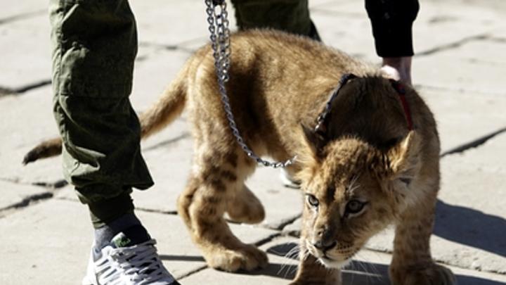 В Крыму родились два самых редких в мире львёнка - видео