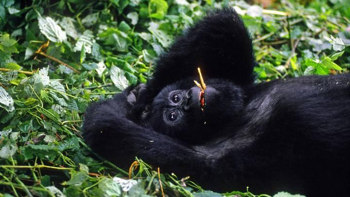 Эти девчонки всегда такие дерзкие?: ВСети оценили, как гориллы внациональном парке передразнили людей, которые делают селфи