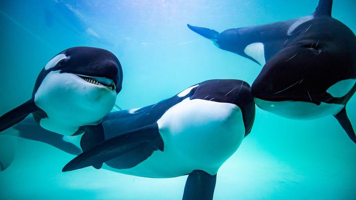 Юридически вопрос так и не решён: Узников приморской китовой тюрьмы готовят к выпуску на свободу