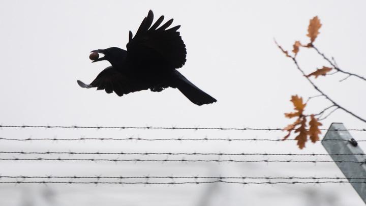 Не делать резких движений и не кричать: Эксперты о том, как вести себя при нападении стаи ворон