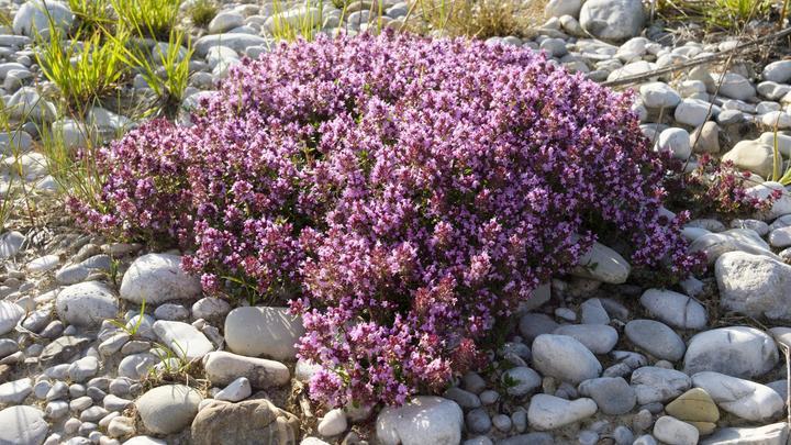 Не только приправа или цветок из сказок: Эксперты назвали траву, лечащую полсотни болезней