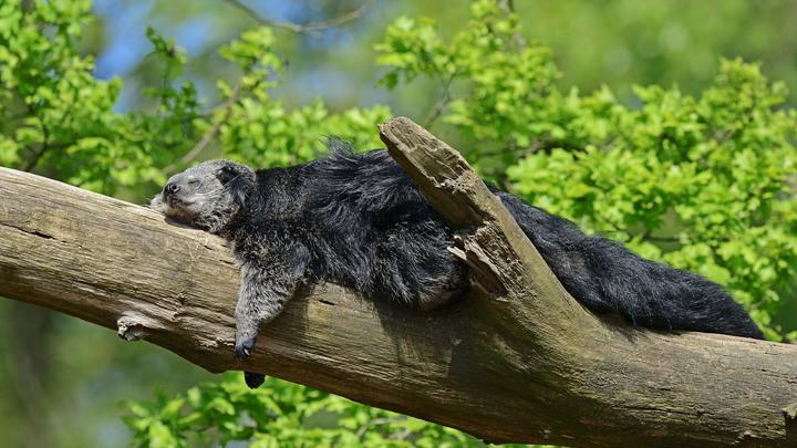 Кричит, как кошка, но все-таки медведь: В Московском зоопарке появился экзотический жилец