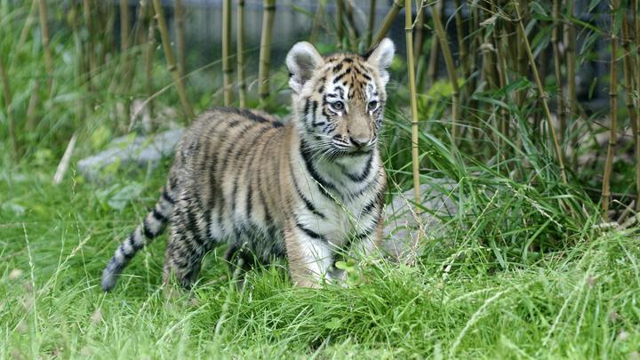 Гектор, живи: В Челябинске спасают тигренка - жертву наглого вора