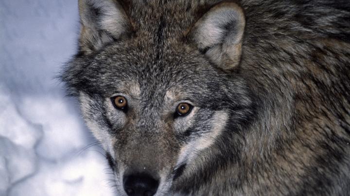 Накрывала детей своим телом: В Канаде семья описала встречу с волком как фильм ужасов