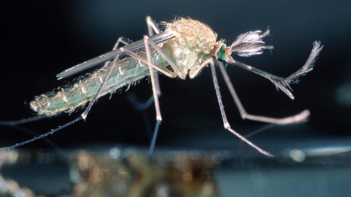 Смерть на крыльях комара: В центре России могут появиться переносчики тропических болезней
