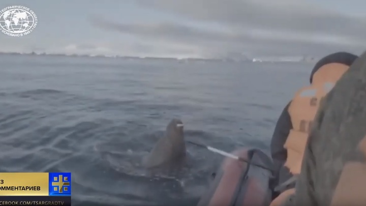 Срочно, срочно! Наехали на моржа! От разгневанного животного ученых спасли только военные - видео
