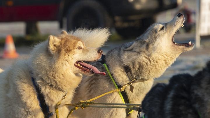 У Путина нет шансов: Якутский шаман с четырьмя собаками пошёл брать Москву, но был задержан
