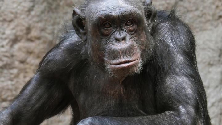Повышает социальную сплочённость: Шимпанзе подсказали учёным, как люди научись танцевать
