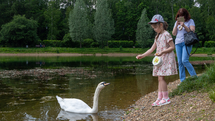 Челябинцев просят не спасать лебедей на водоемах
