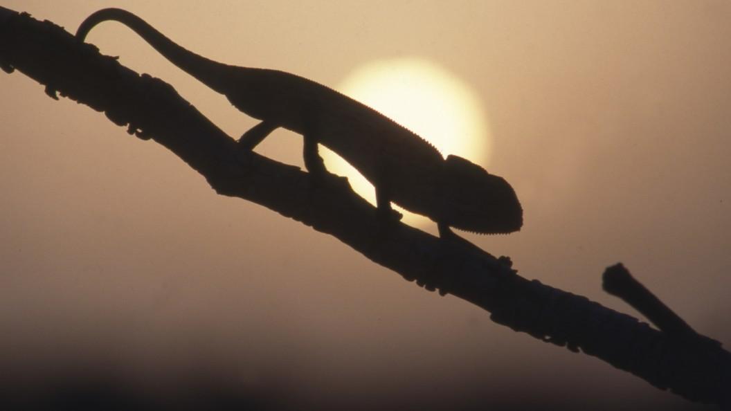 Ученые поведали о 3-х видах хамелеонов, доэтого неизвестных науке