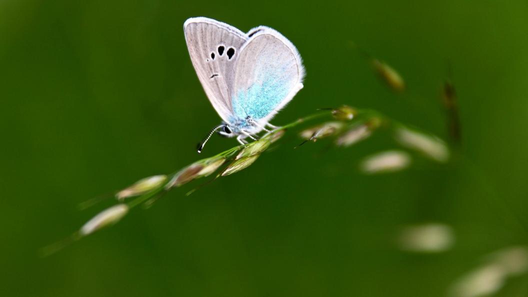Экологи приписали военным США вклад в спасение редких бабочек