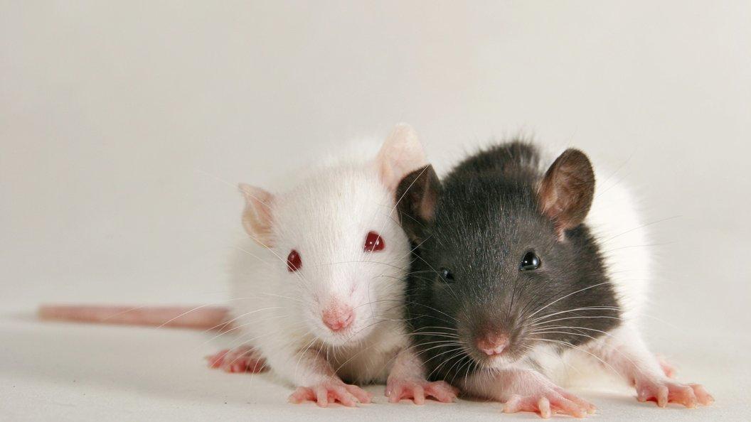 Власти Нью-Йорка рассказали о будущей войне с крысами