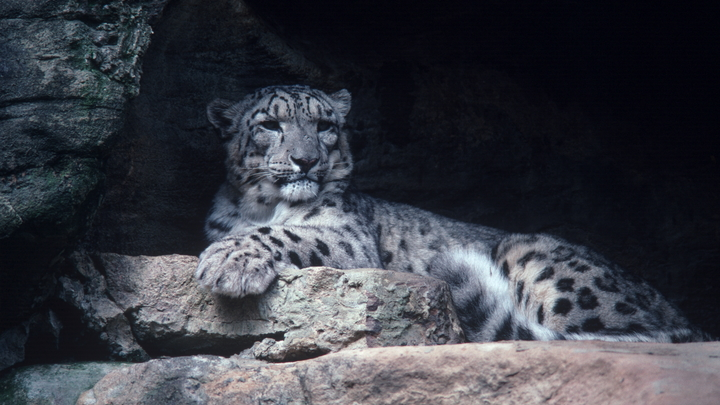 Ученые ждут роста численности дальневосточных леопардов
