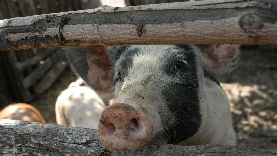 В Омской области впервые зафиксировали африканскую чуму свиней
